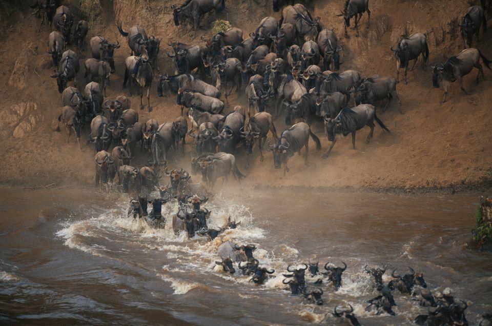 Великая миграция антилоп гну в Кении