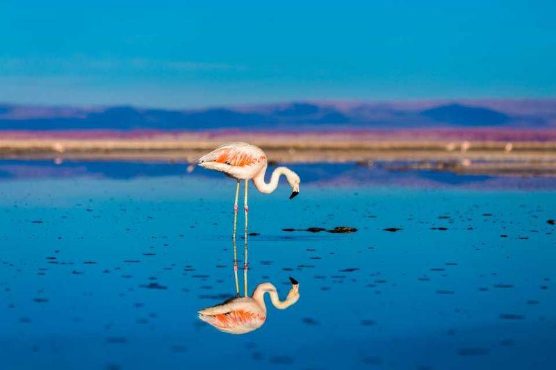 Фламинго в Патагонии