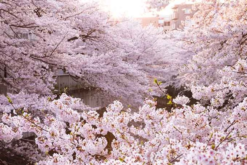 Japan Cherry blossom tokyo