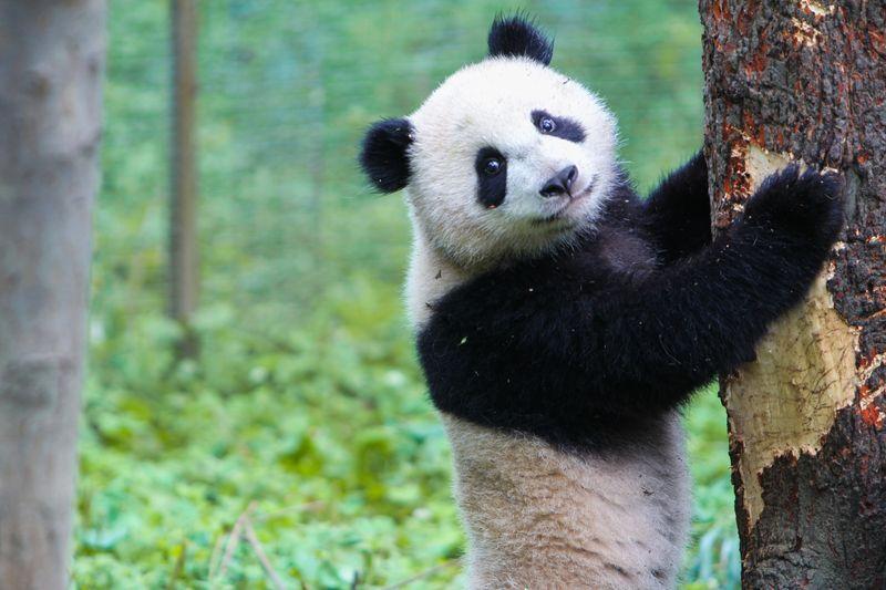 Большая панда в Китае