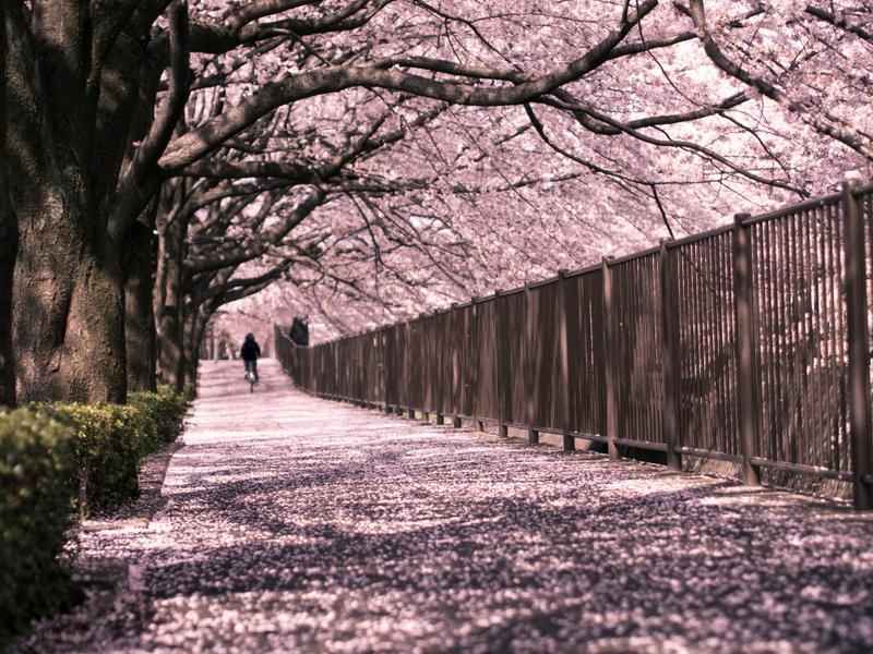 Ανθισμένες κερασιές στο Τόκιο