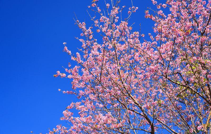 Hình ảnh hoa anh đào tuyệt đẹp chỉ có thể thấy vào mùa xuân ở Tokyo