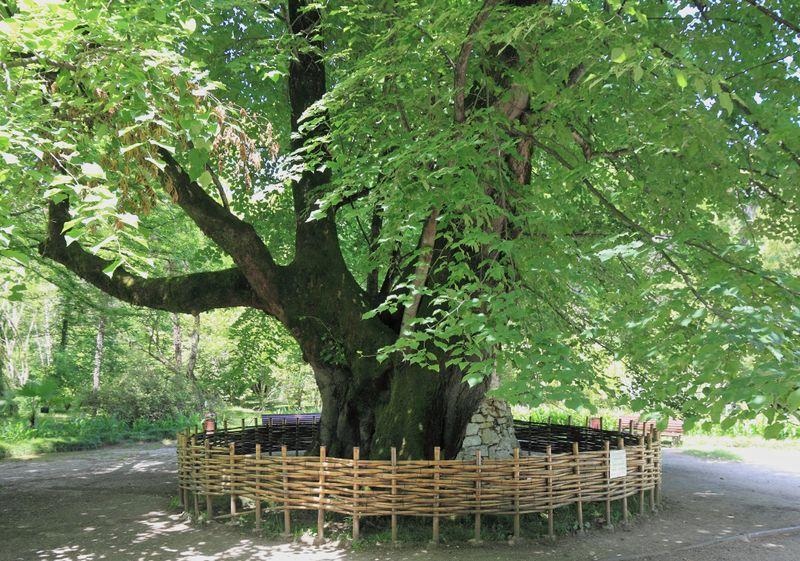Липа в ботаническом саду Сухума