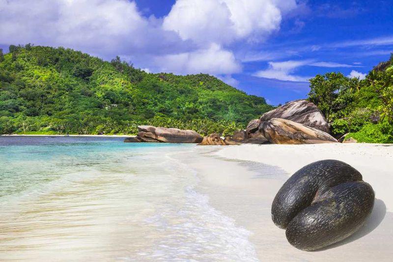 Кокос коко-де-мер на пляже