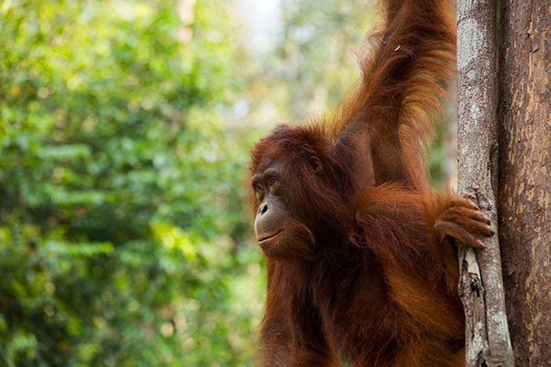Орангутанг на Борнео, Малайзия