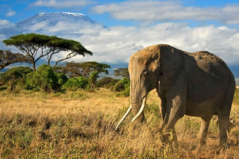 Слон в национальном парке в Кении