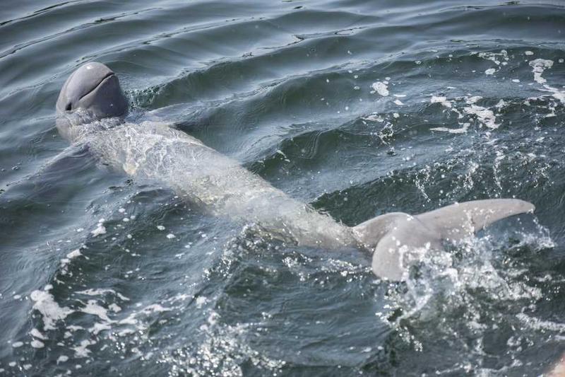 Ирравидийские дельфины