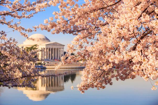 Οι ανθισμένες πορτοκαλιές και το Μνημείο Τζέφερσον στη Ουάσιγνκτον