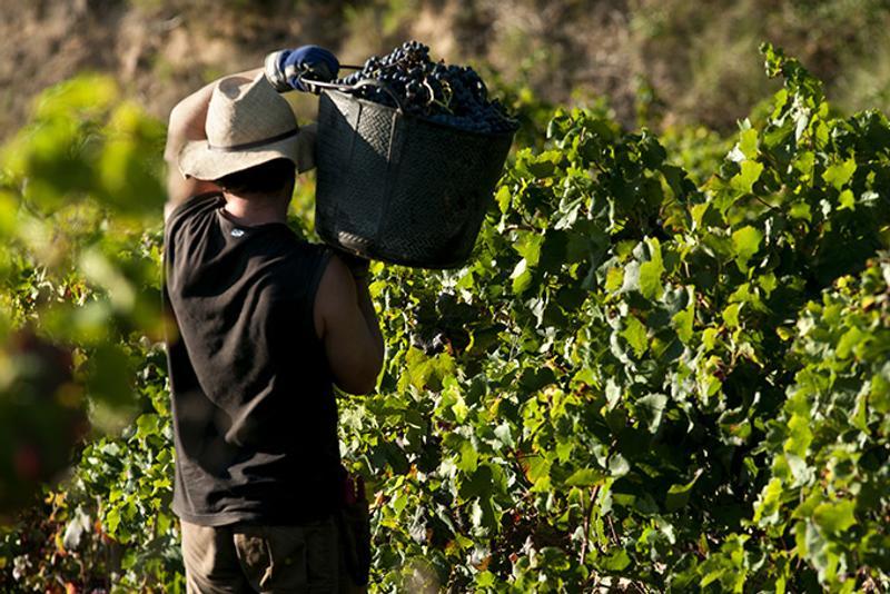Сбор винограда в Испании