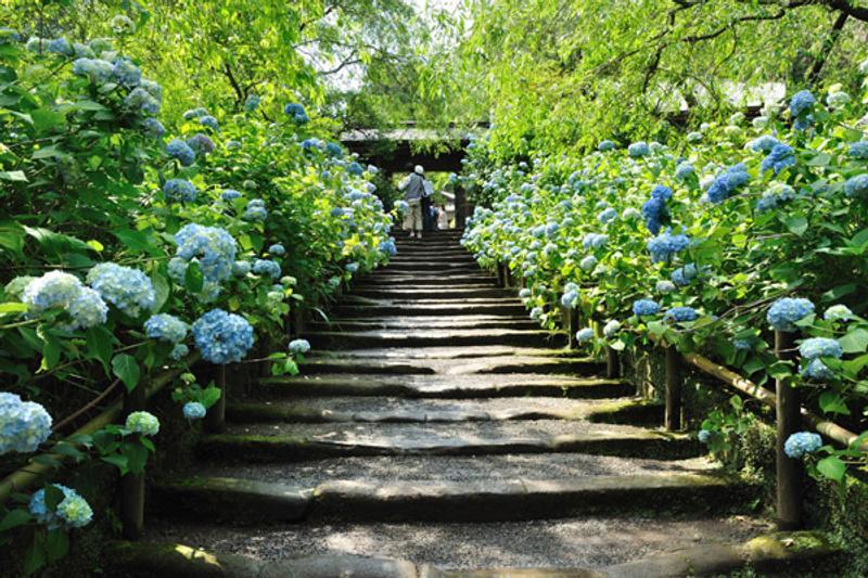 ชมดอกอาจิไซในโตเกียว