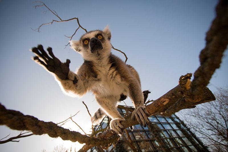 Лемур в пражском зоопарке