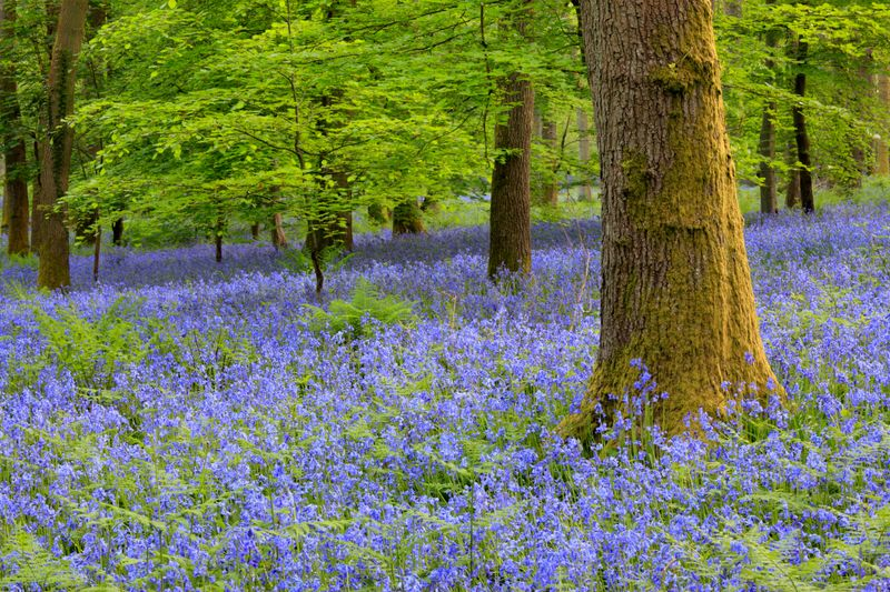 When to see the bluebells in spring