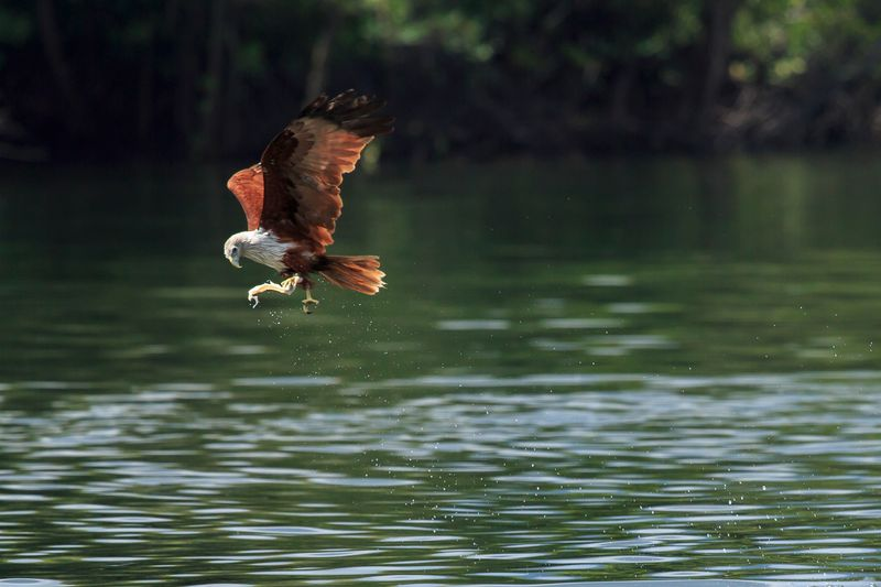 A sea eagle swoops down on prey in the waters around the Langkawi archipelago.