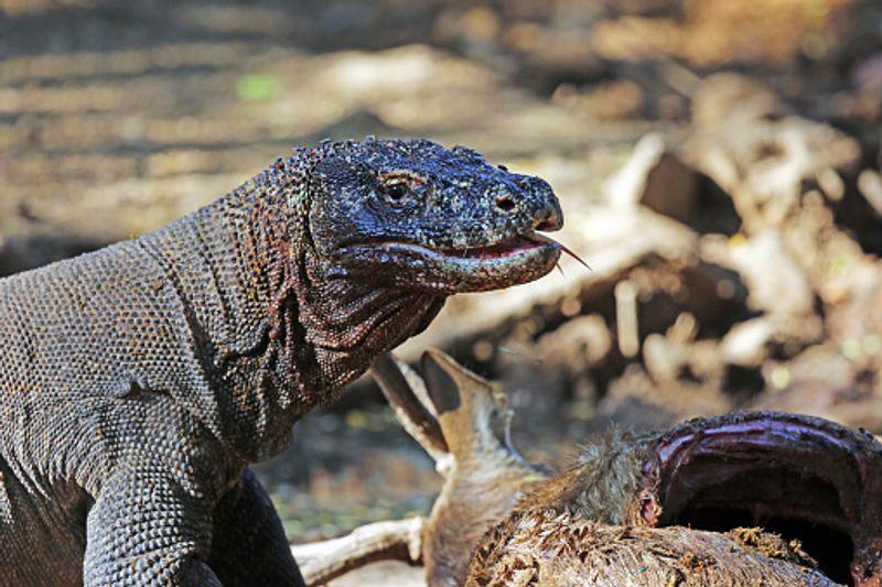 Close up shot of the Komodo Dragon