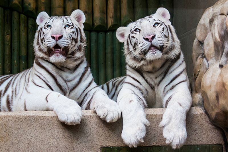 Белые тигры в зоопарке Либереца в Чехии