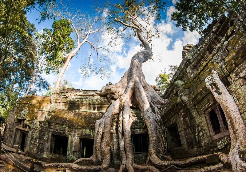 Причудливое дерево в храме Та Пром в Камбодже
