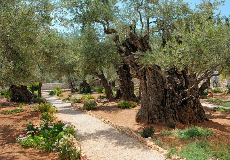 Гефсиманский сад, Израиль
