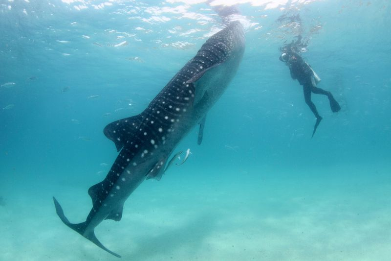 If you're wondering where to swim with whale sharks, you can start by putting the Seychelles at the top of your list