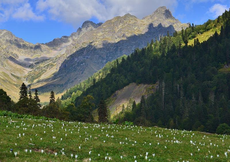 Луг с цветущим шафраном в горах Абхазии
