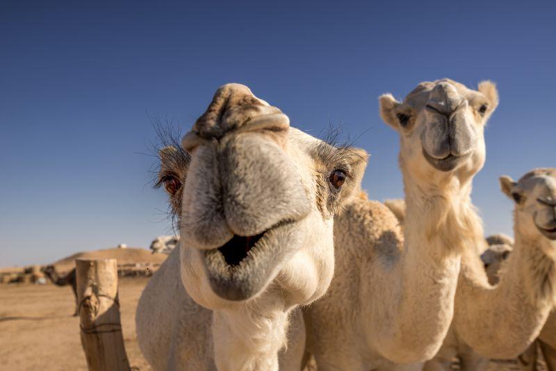 Верблюды летом в пустыне ОАЭ