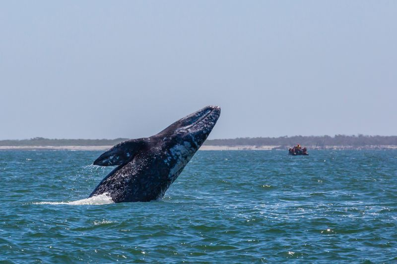 When to see grey whales