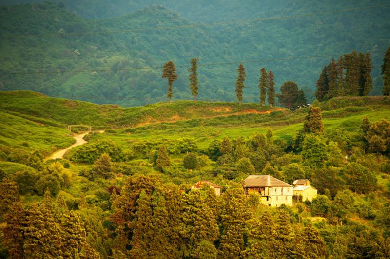 Чайные поля на Кавказе