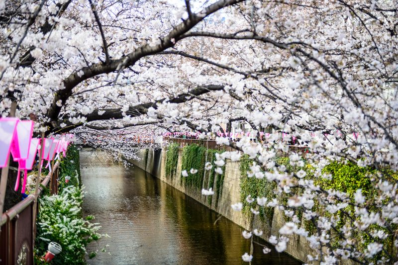 When to see cherry blossom Japan