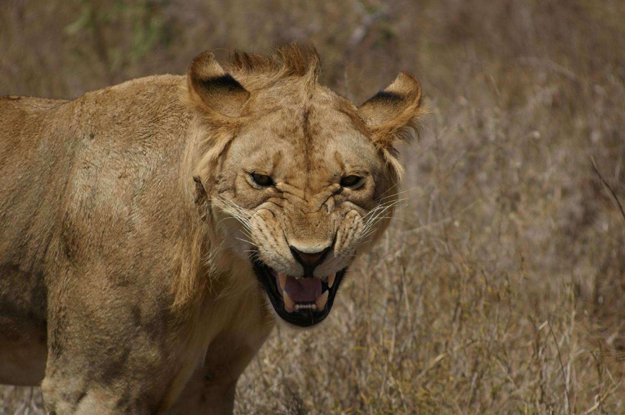 Лев в национальном парке Цаво в Кении