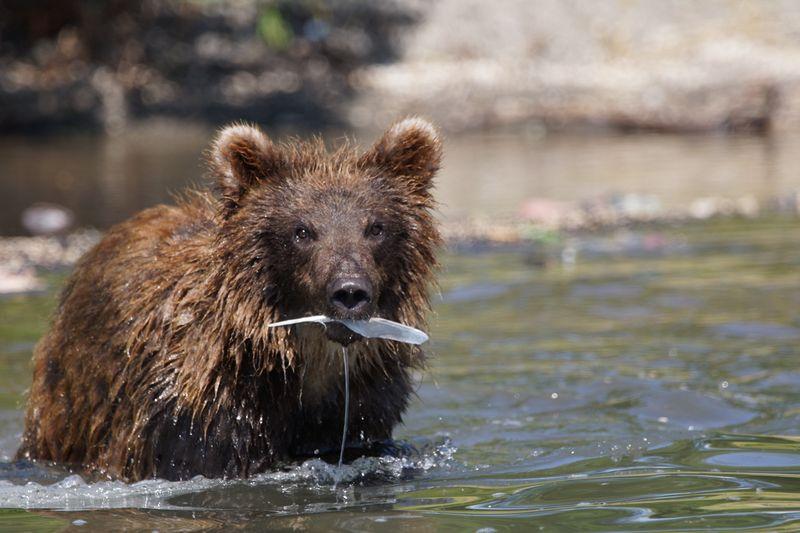 Медведь с пойманной рыбой на Курильском озере на Камчатке