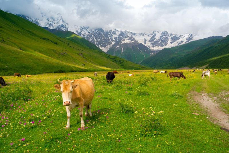 Коровы пасутся на лугах Сванетии, Грузия