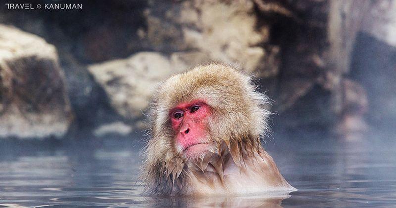สโนว์มังกี้ (Snow monkey) ที่เมืองนากาโน่ (Nagano) ญี่ปุ่น