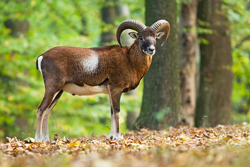 Муфлон на лесной поляне