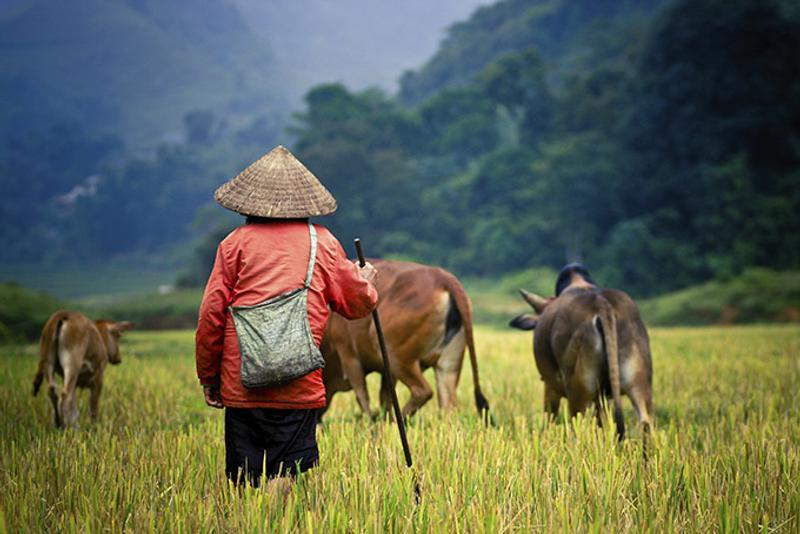 Пастух в Лаосе