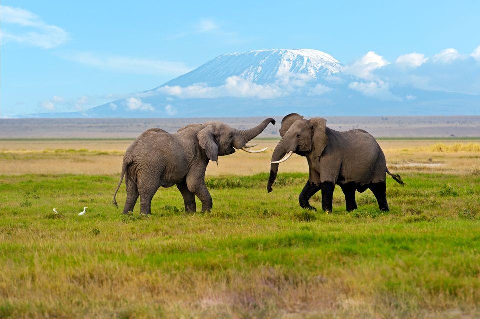 Слоны на фоне Килиманджаро