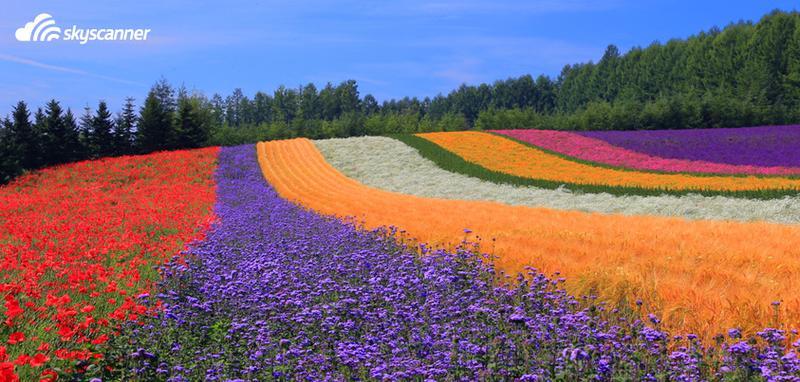 Tomita Farm, Furano, Japan