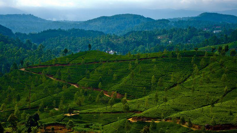 The beautiful tea plantation in Haputale