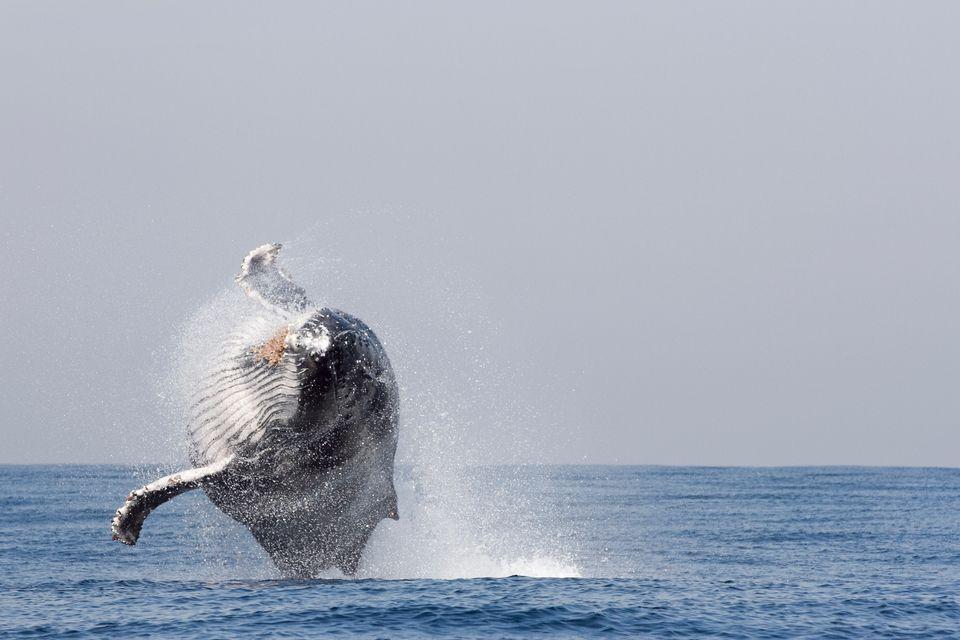Φάλαινα πηδάει στον ωκεανό της Νότιας Αφρικής