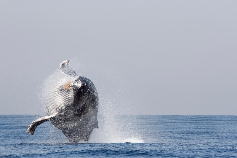Whale-Watching auf Teneriffa