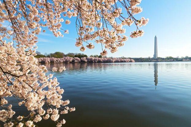 ワシントン記念塔(Washington Monument)と桜