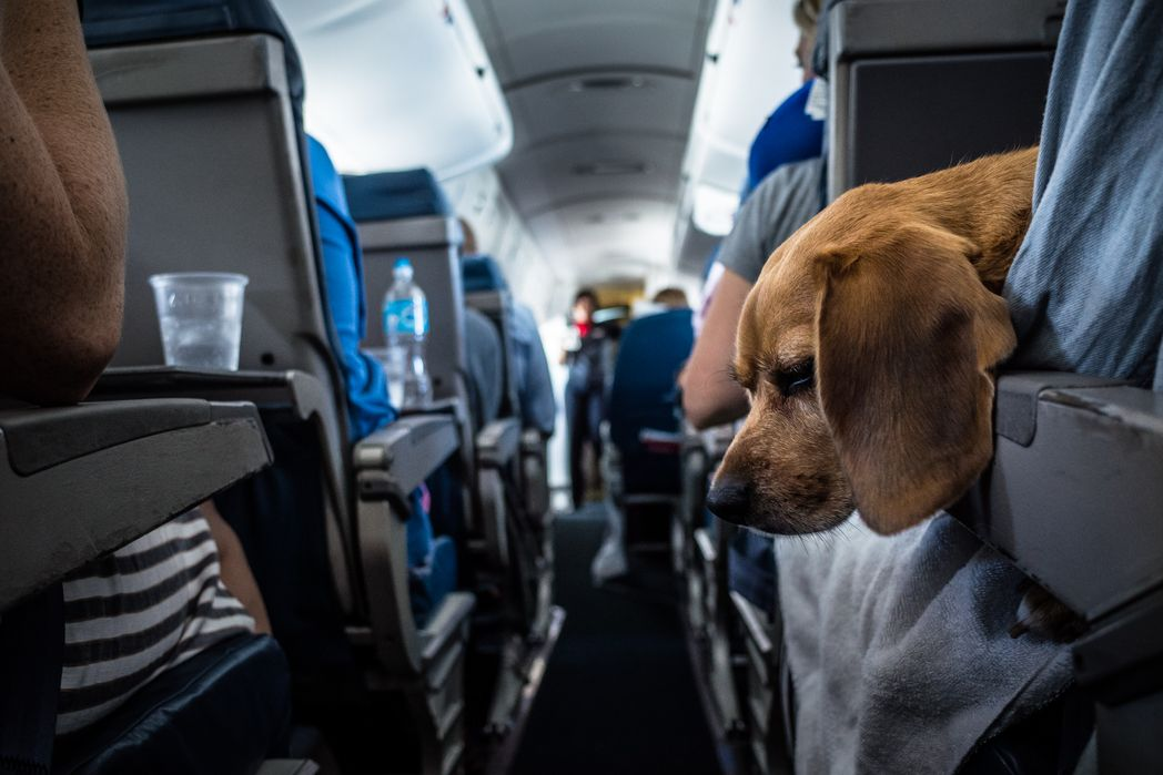 Dog in the cabin - Flight approved pet carriers