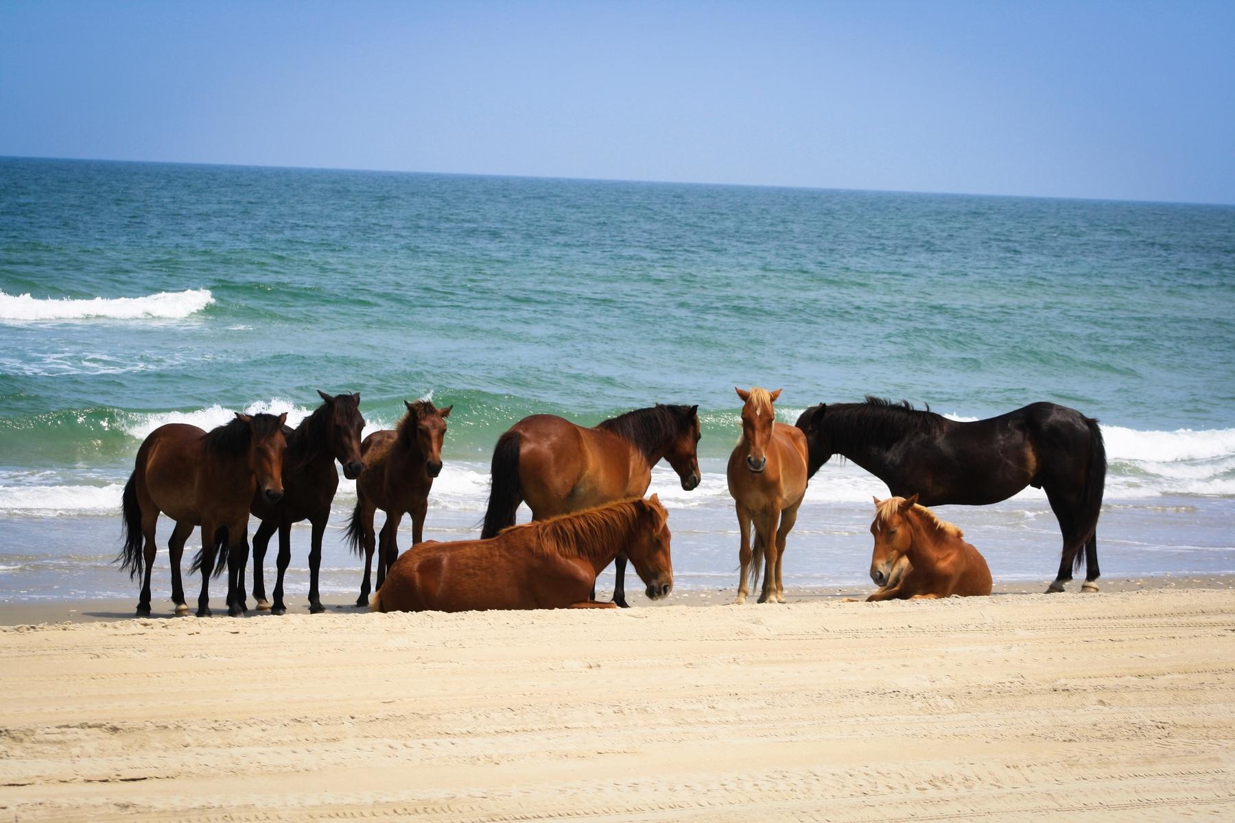 Wild horses on the beach at Outer Banks, North Carolina