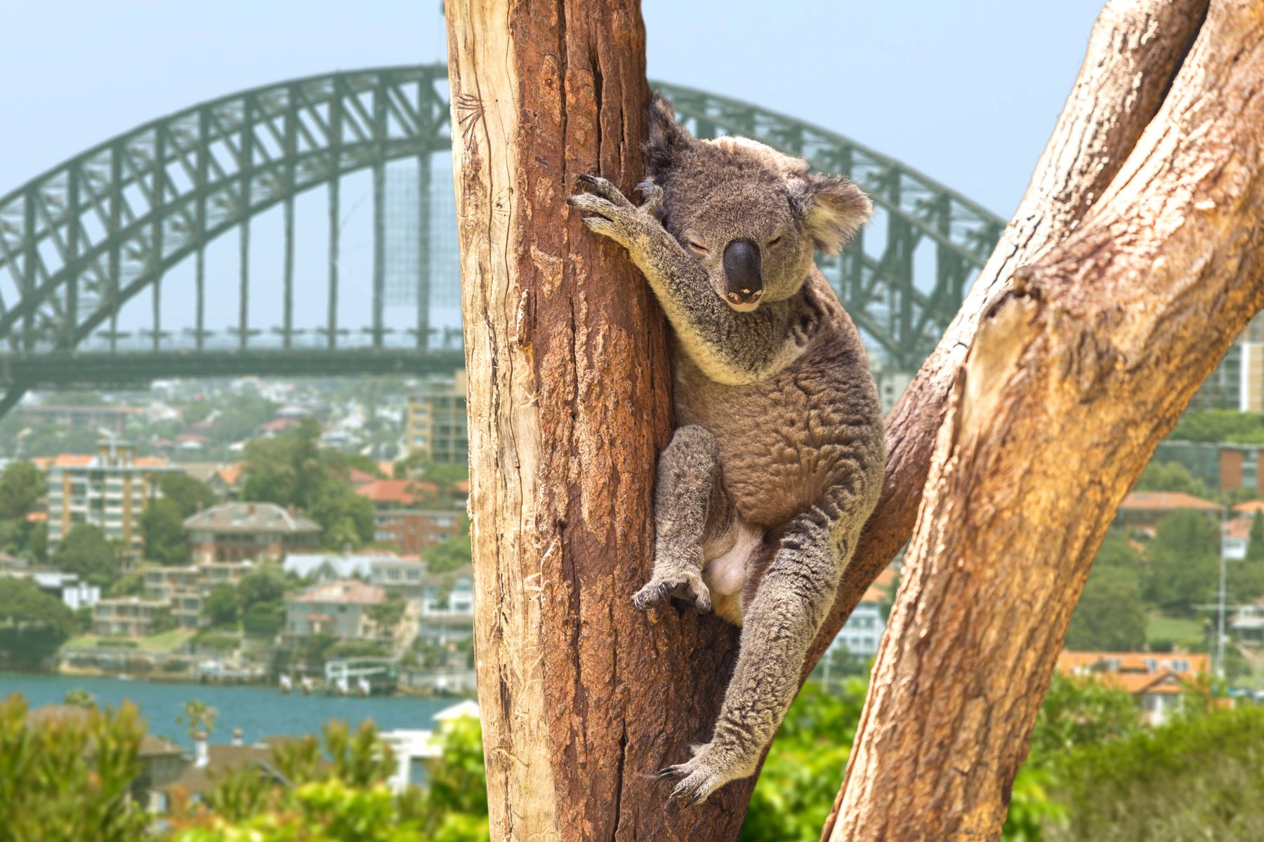 Koalas are found in most zoos in Australia
