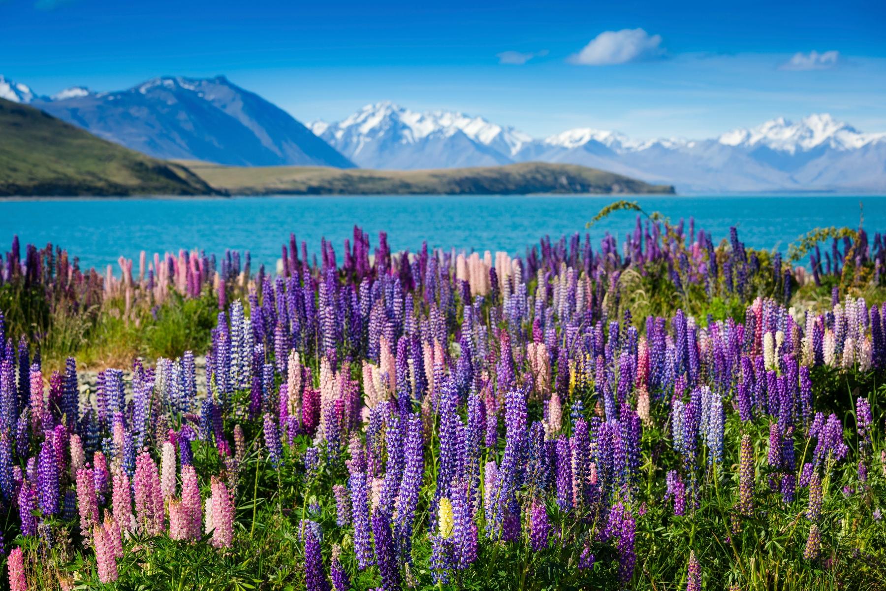 Поля люпинов в Новой Зеландии