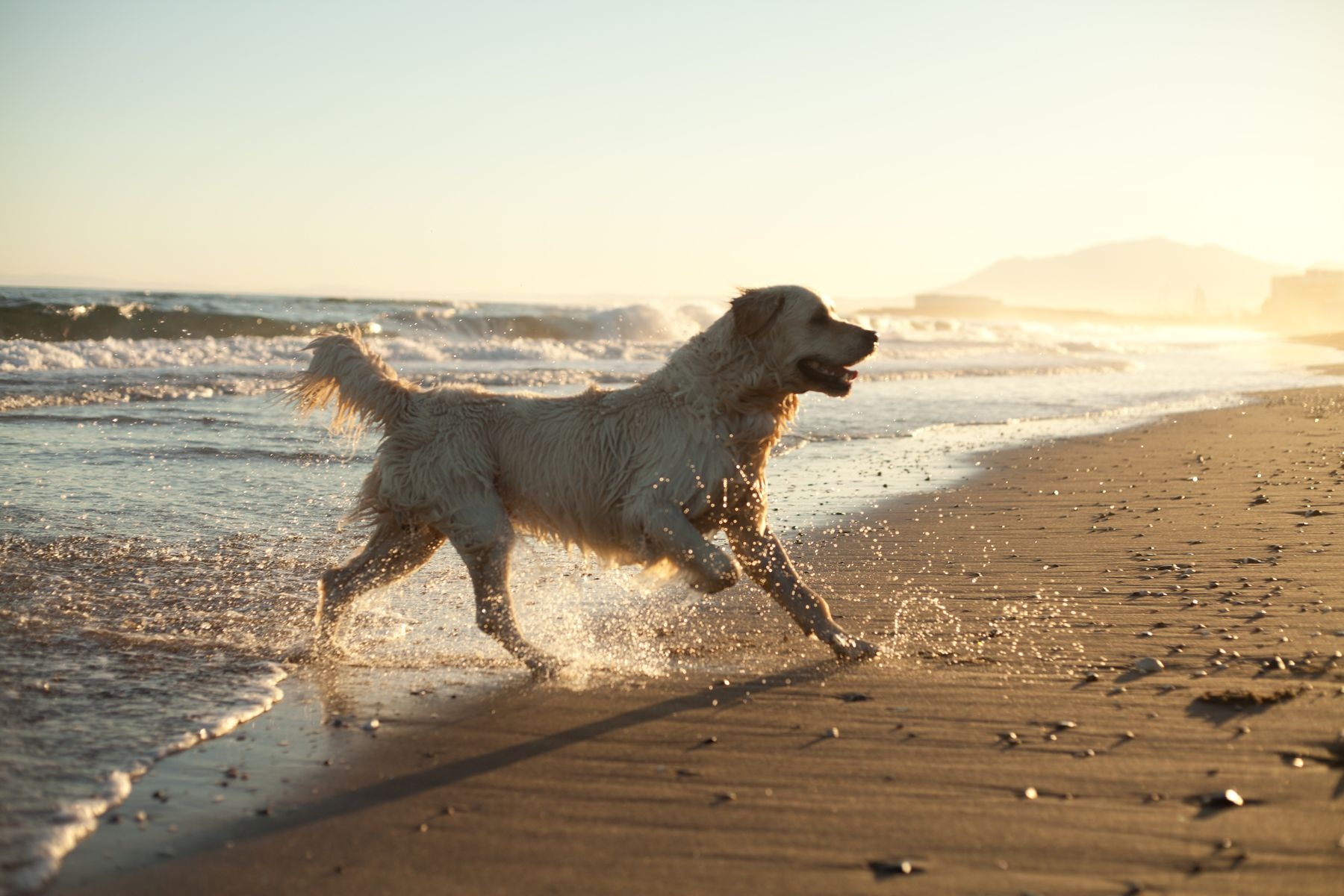 wet labrador dog running on the beach at sunset
