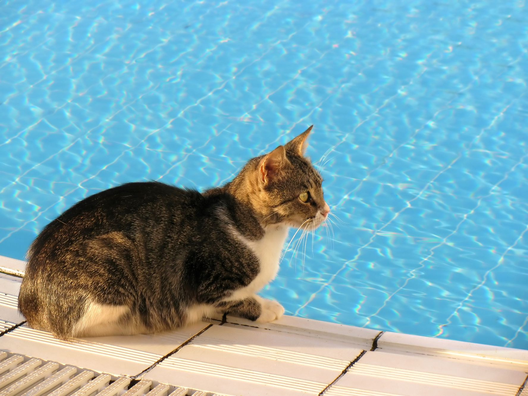 Cat sitting by the pool