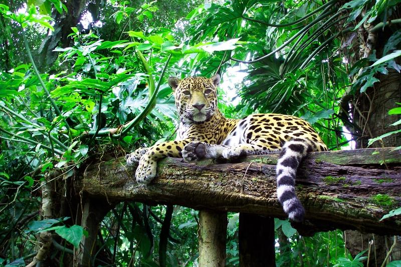 Jaguar in a rainforest