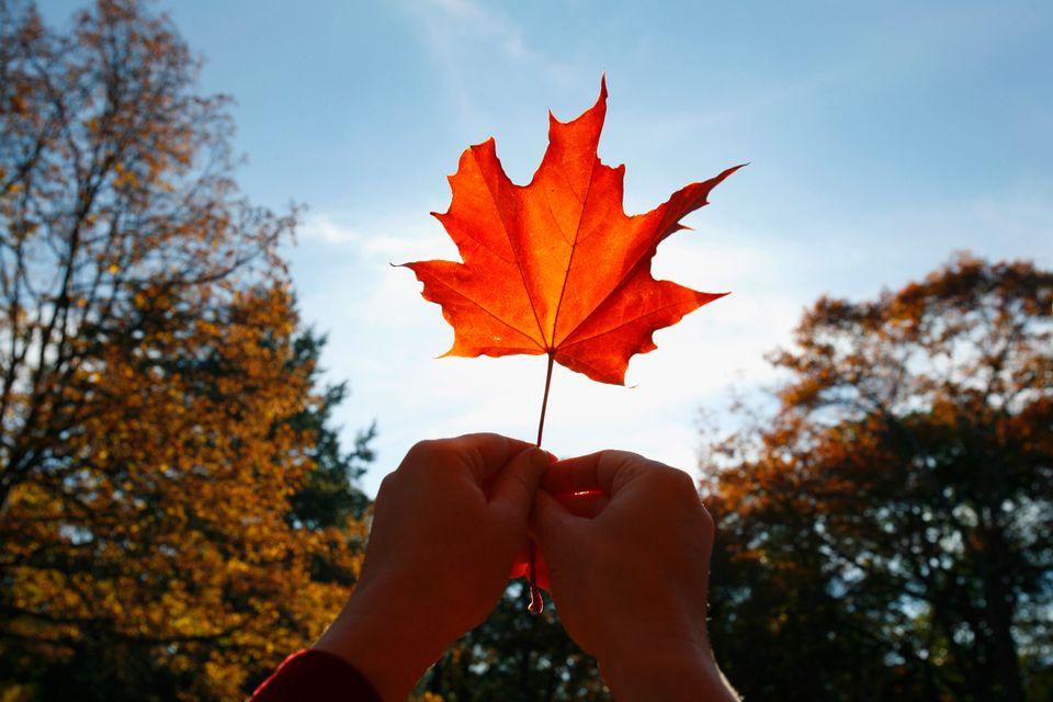 Πορτοκαλί φύλλο, σήμα κατατεθέν του Καναδά