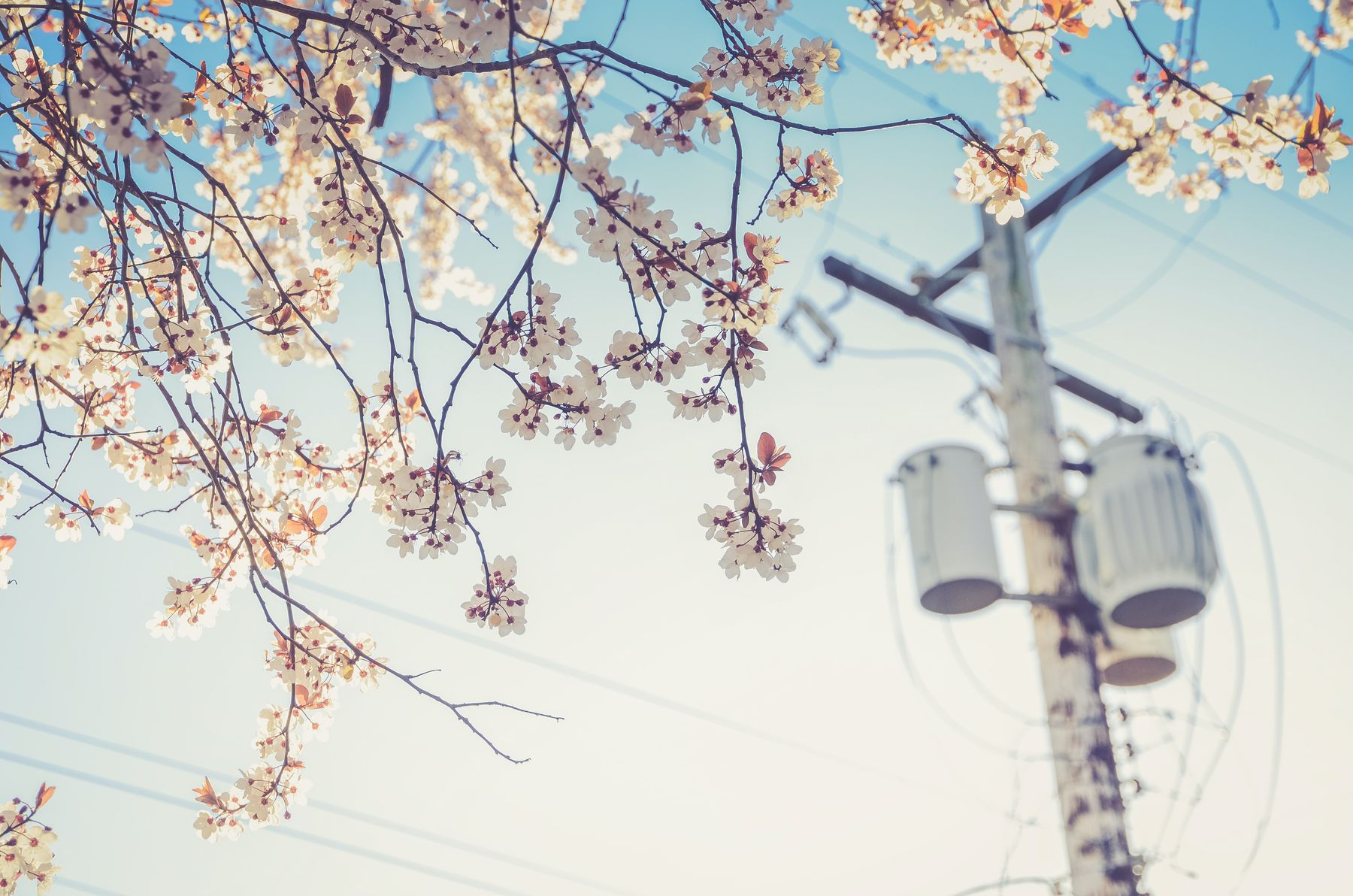 view of cherry blossoms and a street pole in Vancouver. chasing cherry blossoms is one of the best outdoor activities in Vancouver in spring