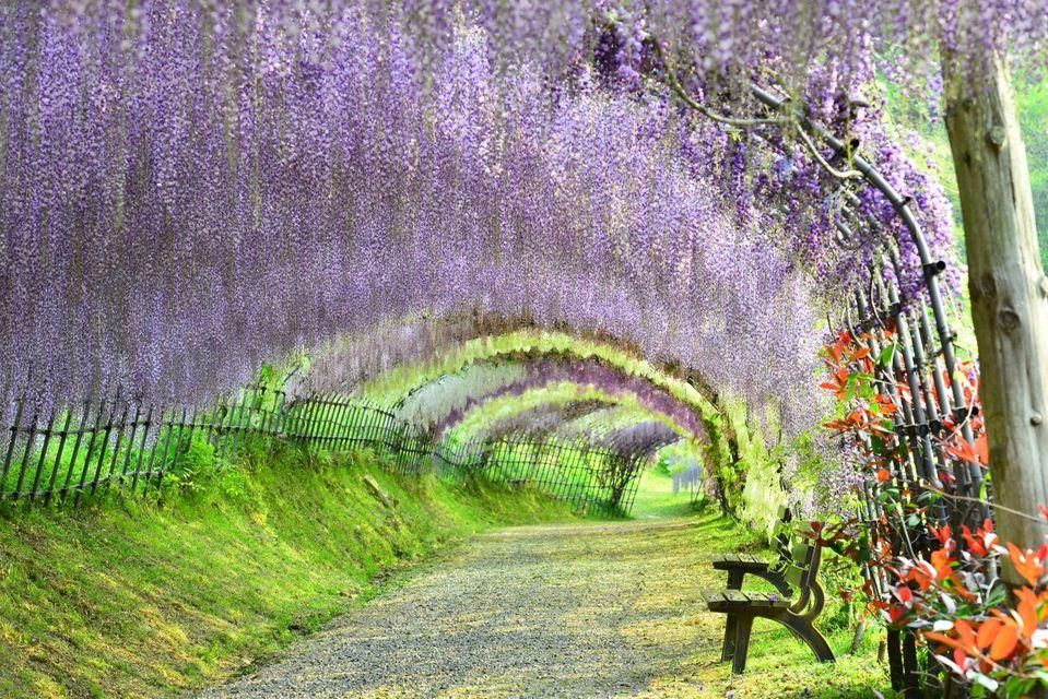 Глицинии в саду Кавати Фудзи в городе Китакюсю, Япония