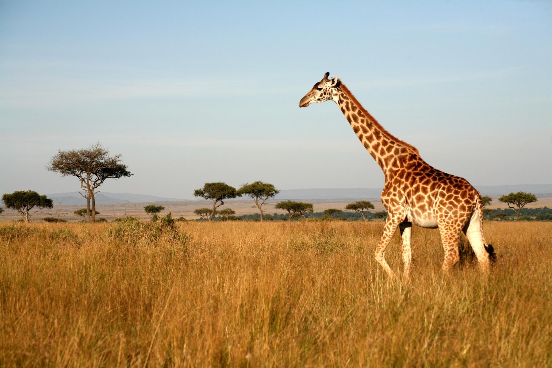 Жираф в Кении
